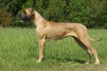 BAGHÍRA Pretorian Dog - GCh.CZ, Ch.CZ, SK, CRO, JCh.CZ