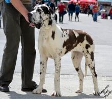 CASABLANCA Elegance Dog - CIB, GCh.SK, Ch.SK, JCh.SK