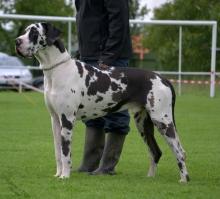 CASANOVA Elegance Dog - JCh.SK