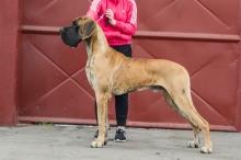 DRUSUS DIESEL Pretorian Dog - Ch.SK, JCh.HR, CZ