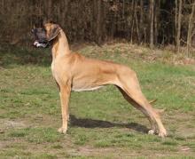 ERASINA Pretorian Dog - JCh.CZ