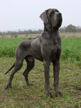J-VANDAL Apollo Dog