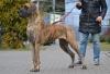 BALBINA Stagra Dog - Ch.PL, JCh.PL