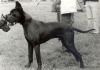 CERBERUS z Velkého psa