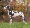 Domino's Dog ATLANTA - Ch.RU, VDH, JCh.RU