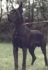 ILKO v.d.Shilo Ranch - CIB, Ch.Fr.