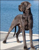 Libora Great Danes DESPERADO