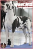 PARODIE D'AMOUR of Austria Great Stars - GCh.SK, Ch.H, RO, SK, JCh.H, SK, SRB